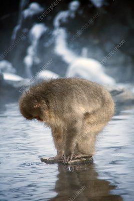 Japanese macaque in a hot spring