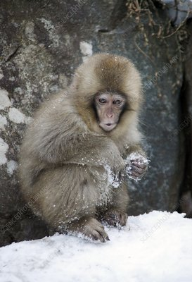 Japanese macaque young