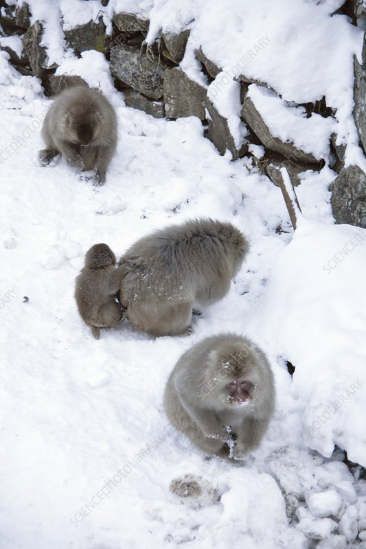 Japanese macaques foraging