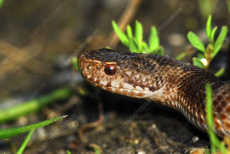 Young male adder