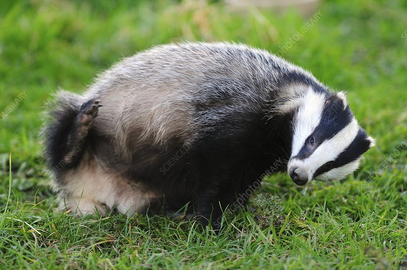 Female badger scratching