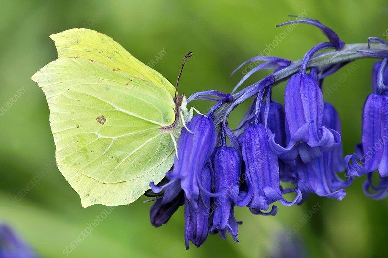 Male brimstone butterfly