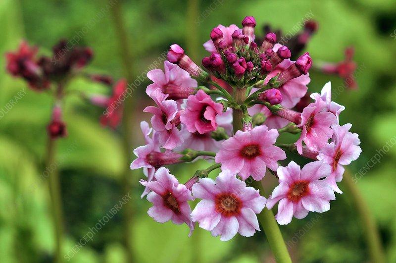 Primula pulverulenta 'Bartley' flowers