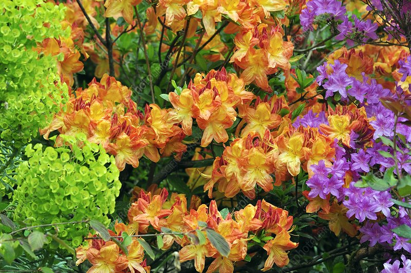 Azalea 'Buttons and Bows' flowers