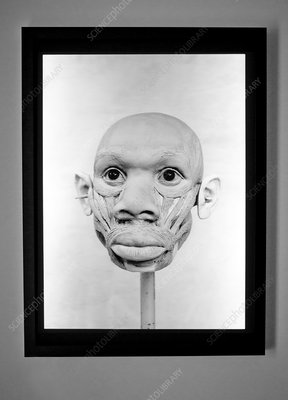Turkana Boy model head
