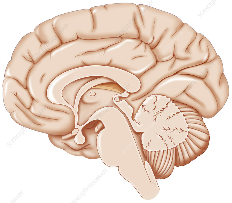 Brain, Drawing