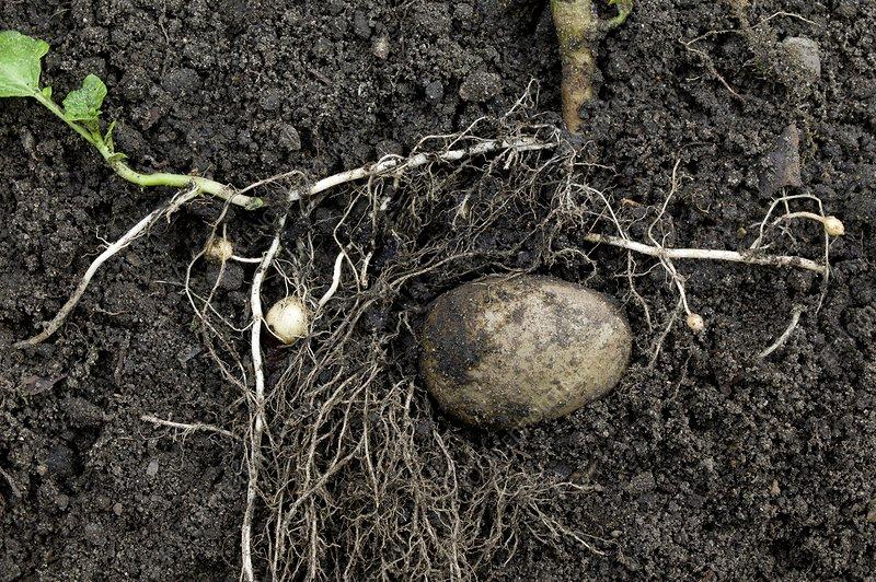 Rhizomes of the potato plant