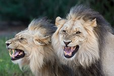 Flehmen response by Male Lions