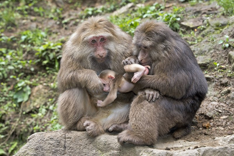 Adult Tibetan Macaques grooming infant.