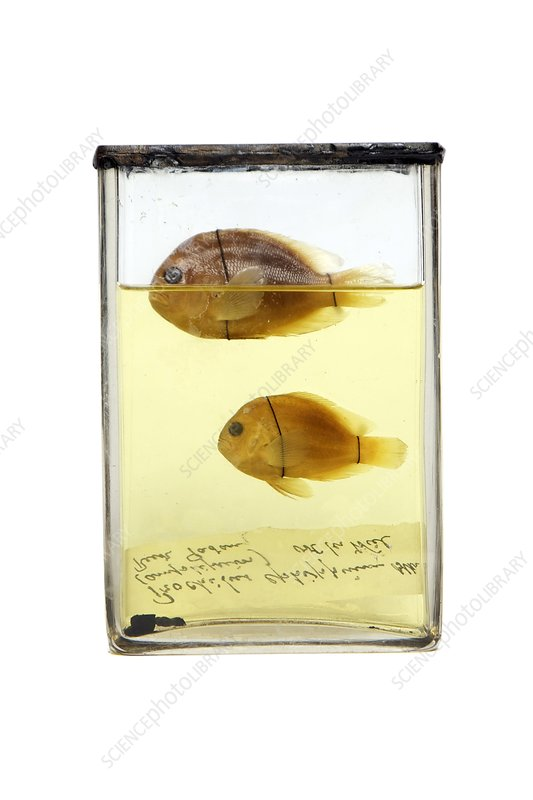 Preserved fish, 19th century specimens