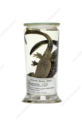 Preserved newts, 20th century specimens