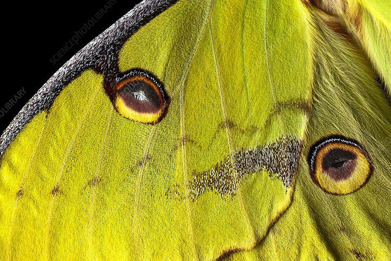 African moon moth wing