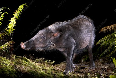 Bearded pig foraging at night