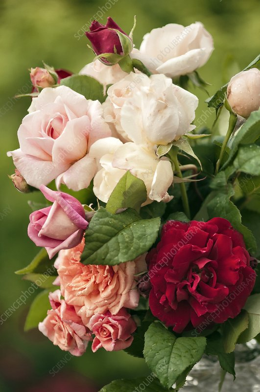 Mixed bouquet of roses (Rosa hybrid)