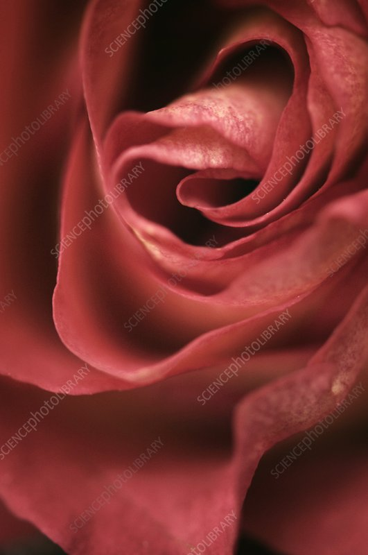 Close up of single rose (Rosa hybrid)