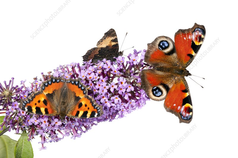 Butterflies on a buddleia