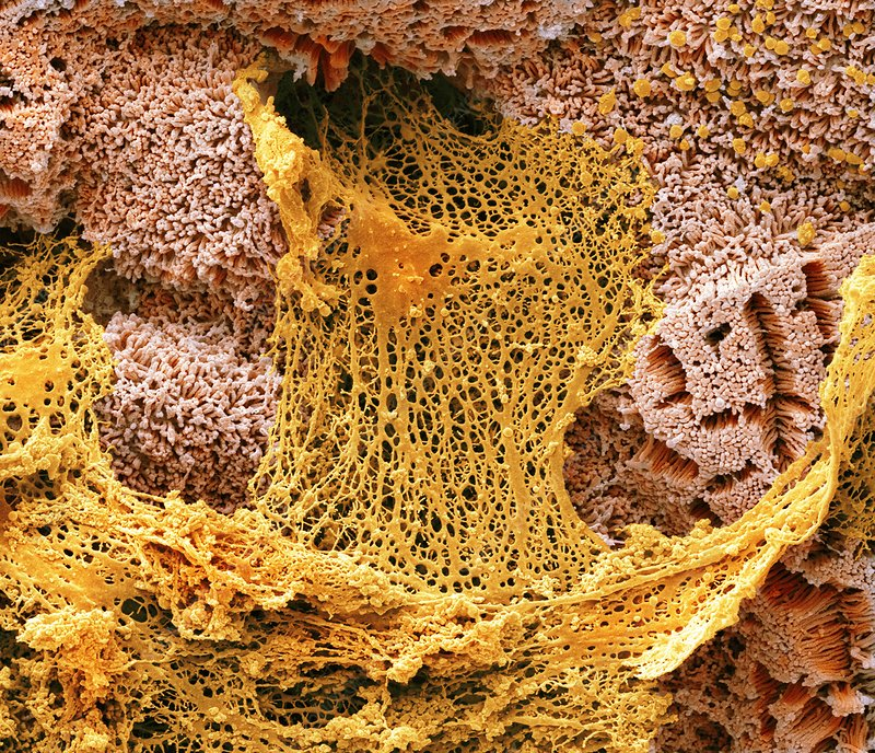 Mucin secretion in the small gut, SEM