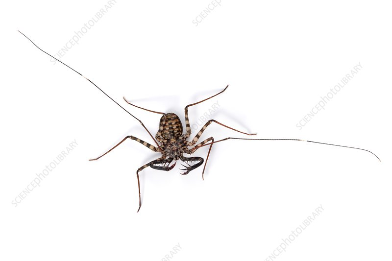 Tanzanian giant tailless whipscorpion
