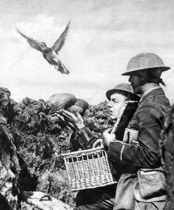 WWI, Releasing British Carrier Pigeon