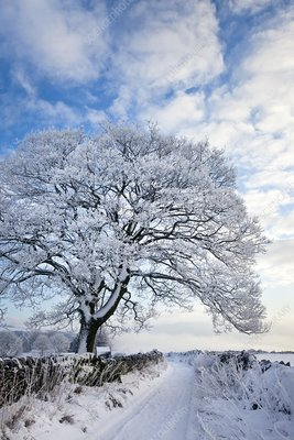 Tree covered in hoar frost