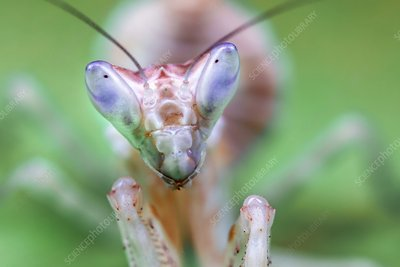 Indian flower mantis