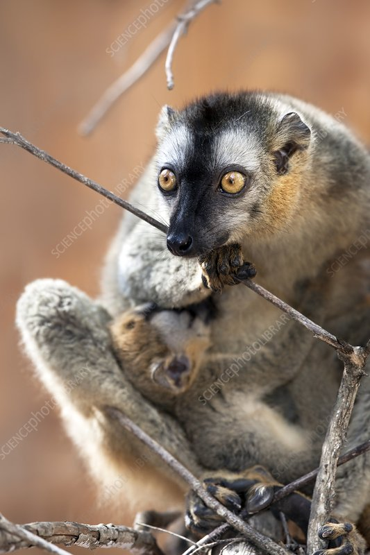 Red-fronted brown lemur and infant