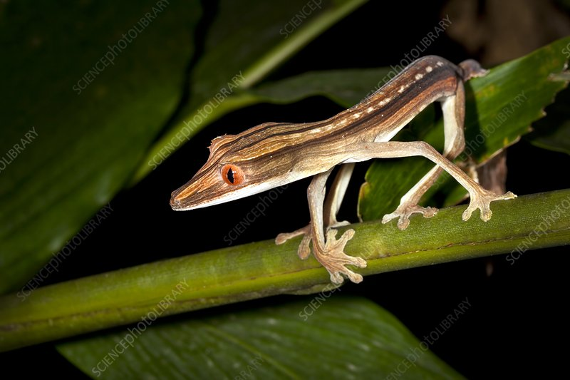 Lined flat-tail gecko
