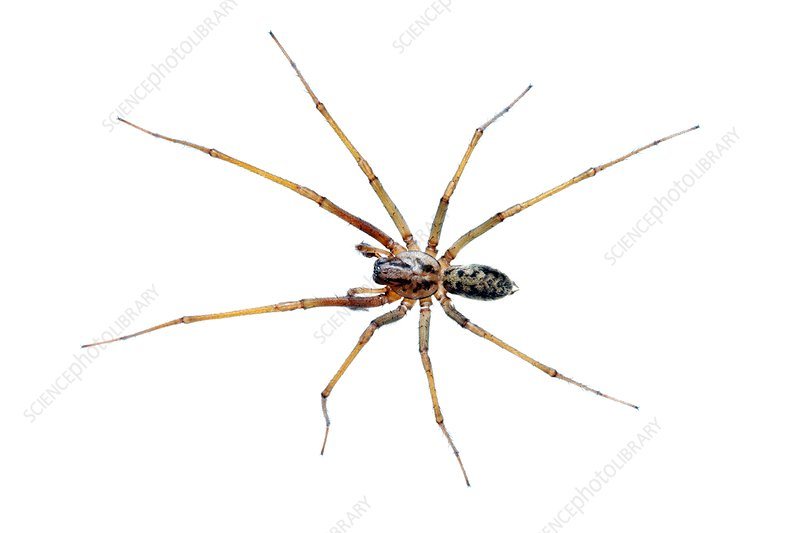 Male house spider