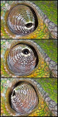 Panther chameleon eye