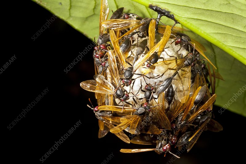 Paper wasps on nest