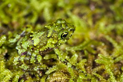 Juvenile rot-hole tree frog