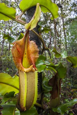 Veitch's pitcher plant