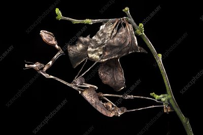 Female violin mantis