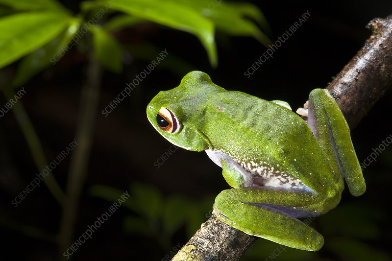 White-lipped bright-eyed frog