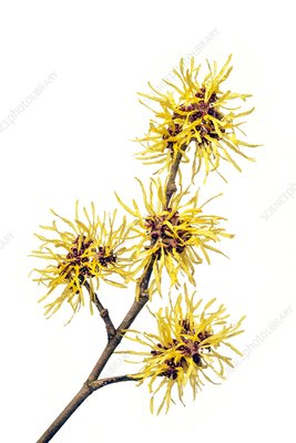 Witch hazel (Hamamelis sp.)