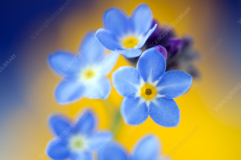 Wood forget-me-not (Mysotis sylvatica)