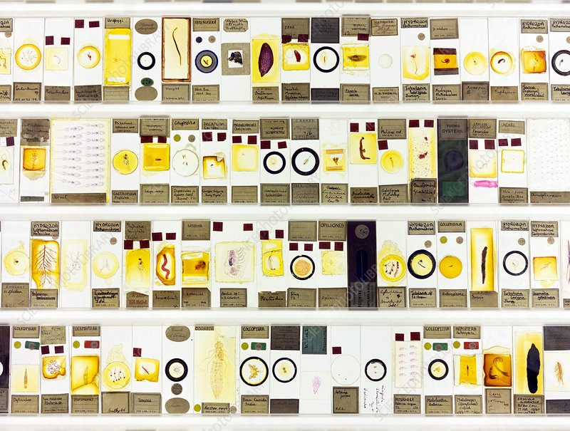Zoological microscope slides