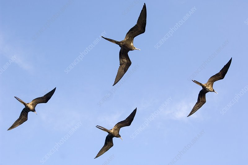 Frigatebirds in flight