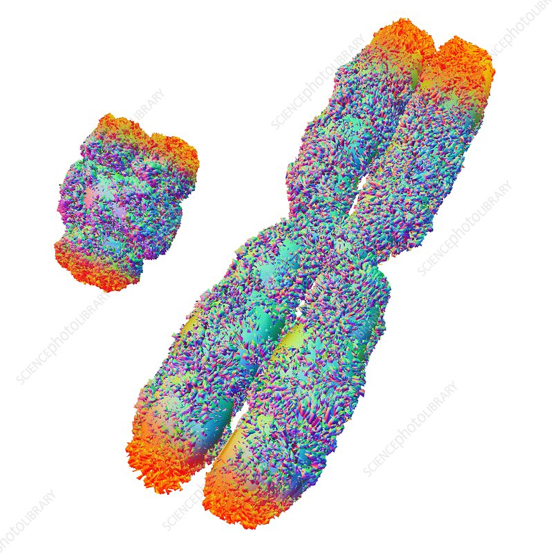 Y and X chromosome with telomeres