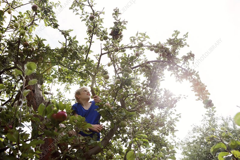 Teenage boy climbing an apple tree