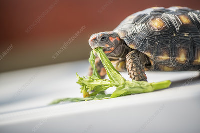 Red-footed tortoise feeding