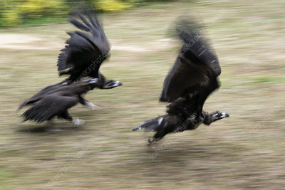 Griffon vultures taking off