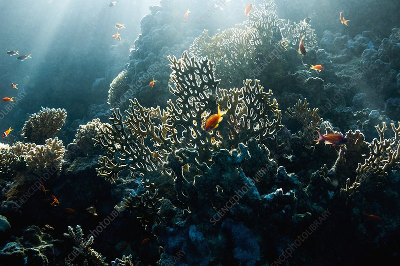 Fire coral and fish