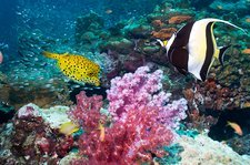 Yellow boxfish and Moorish idol