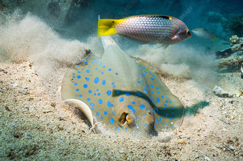 Bluespotted ribbontail ray and wrasse