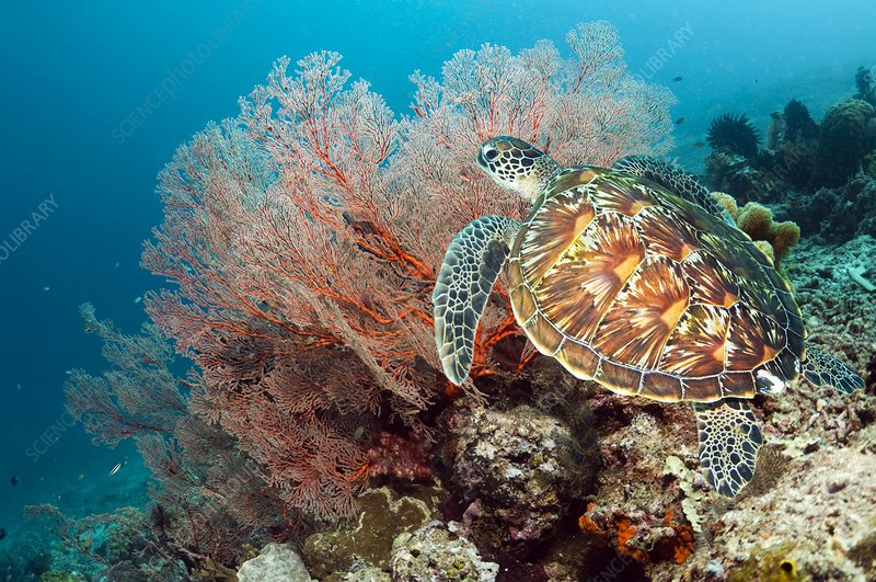 Green sea turtle and gorgonian