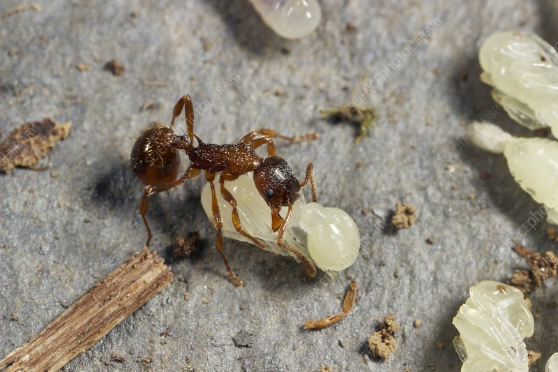 Ant lifting pupa