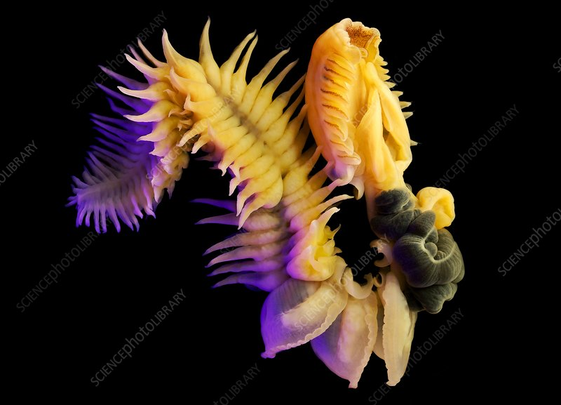 Chaetopterus marine worm