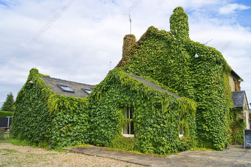 Ivy growth on a building