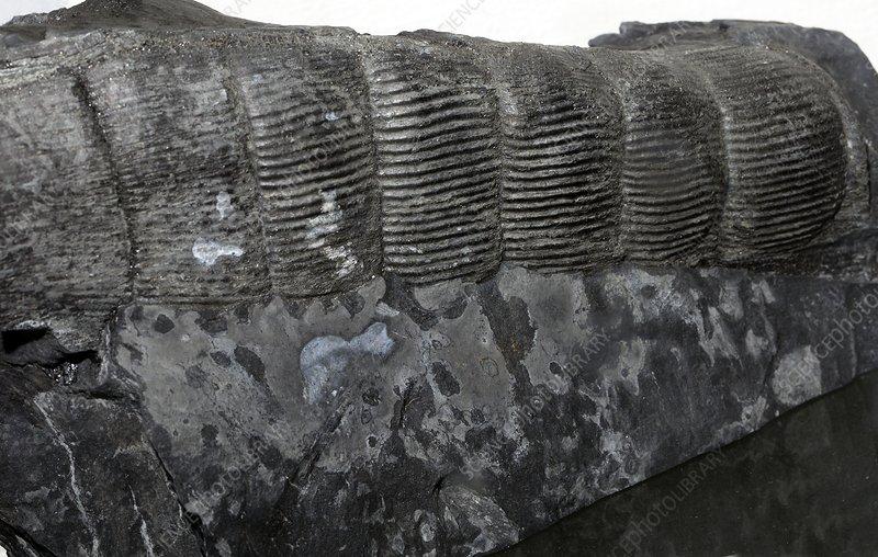 Calamites suckowii, fossil horseta